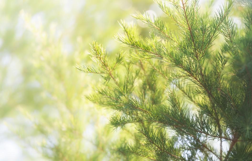 Der Teebaum