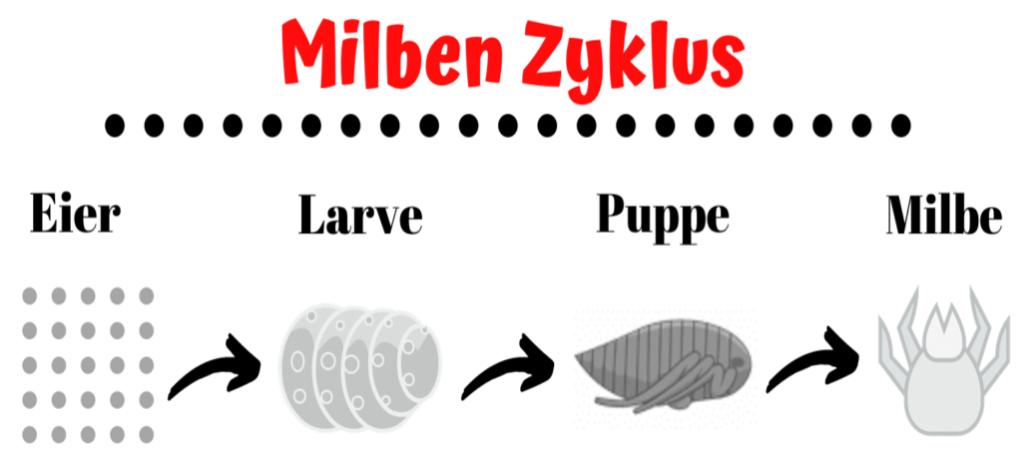 Lebenszyklus der Milbe