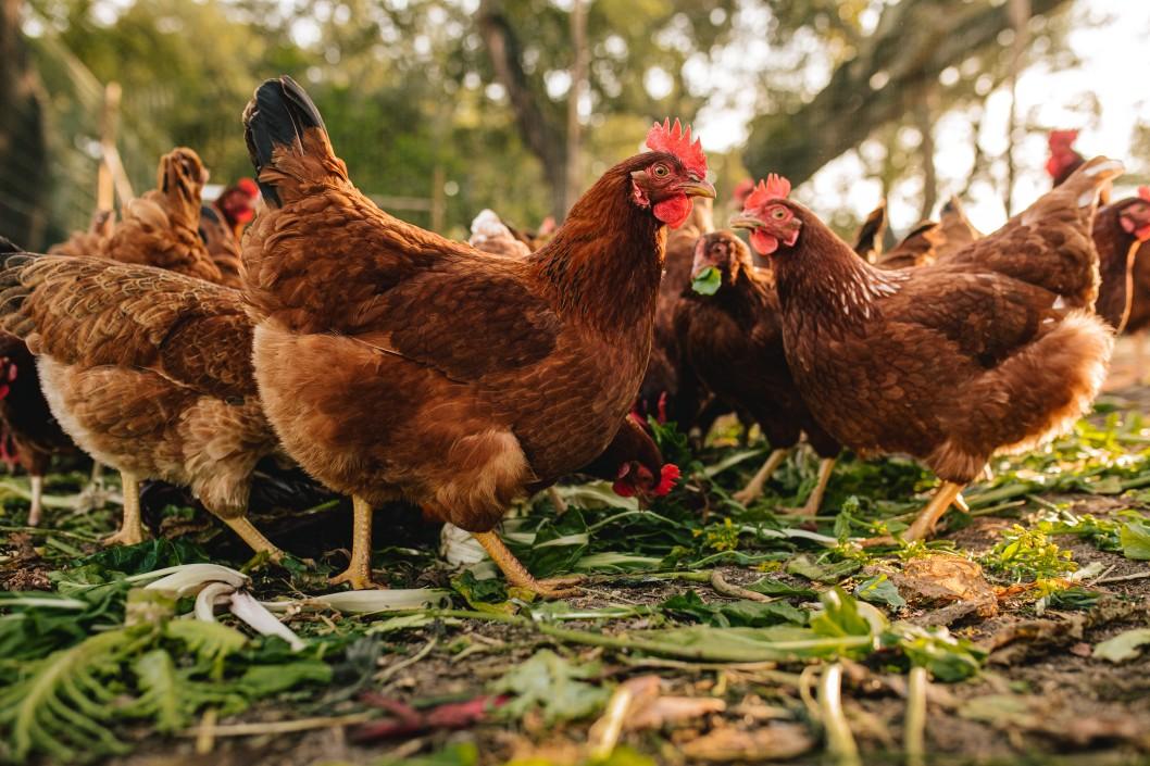 die rote Vogelmilbe findet sich häufig bei Hühnern