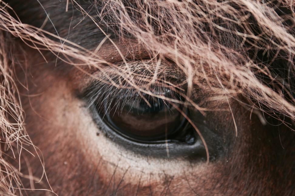 Auge eines Pferdes