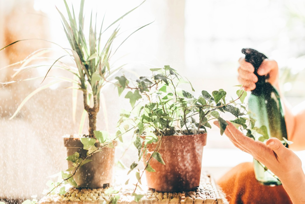 Pflanzen werden mit Mittel gegen Raubmilben eingesprüht