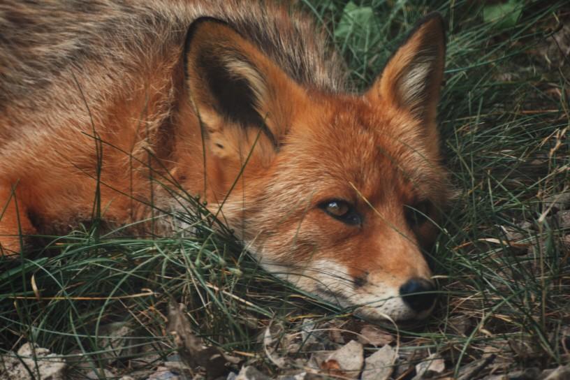 Räudemilben beim Fuchs