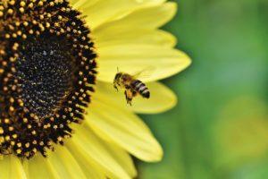 Varroamilben vs. Honigbiene