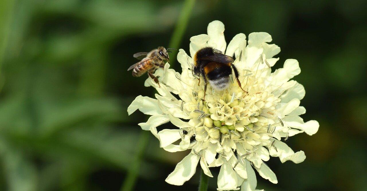 Varroamilbe Honigbiene