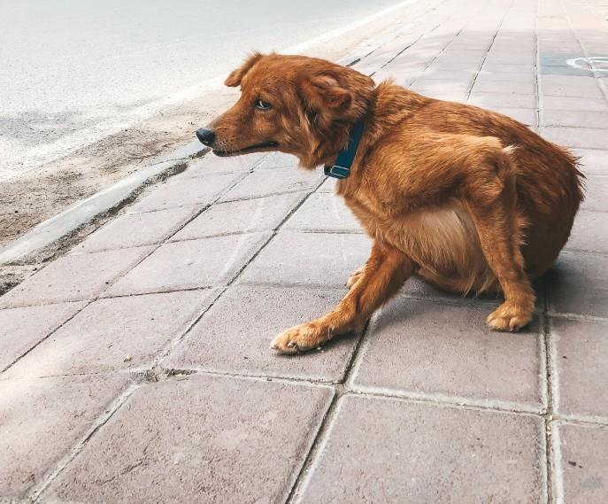 Hund kratzt Flobiss