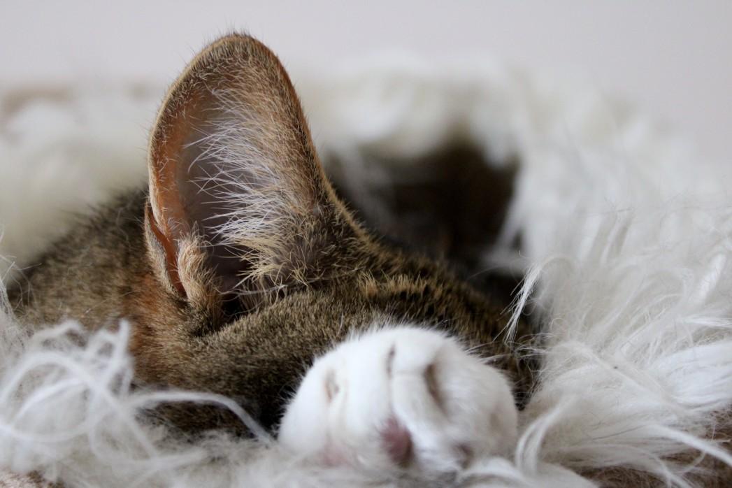 Katzenohr