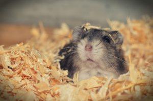 Milbenbefall beim Hamster